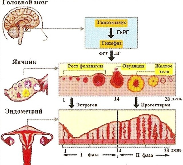 Как уменьшить кровотечения при месячных