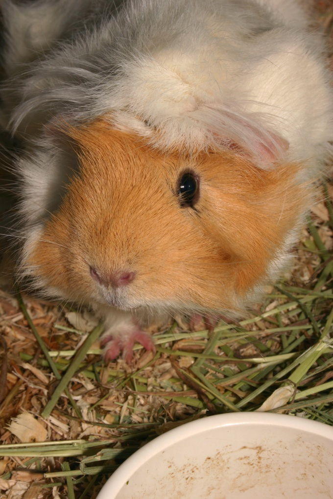 Guinea pigs need a comfortable house