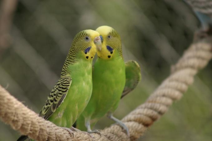 выбрать волнистого попугайчика