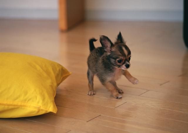 как приучить щенка чихуахуа к лотку