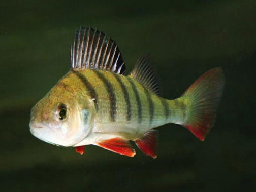 Perch - diet food