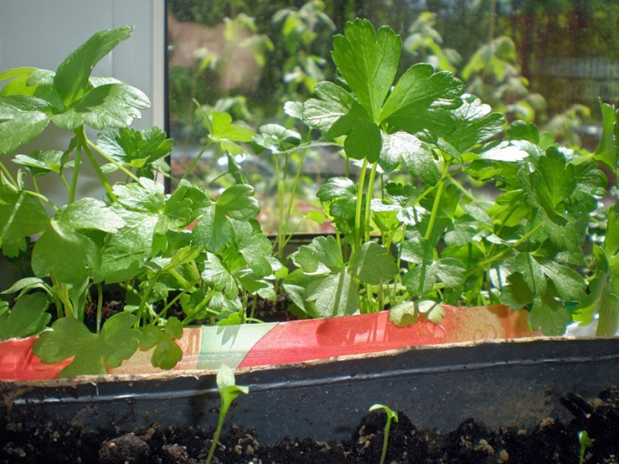 How to grow parsley on the windowsill