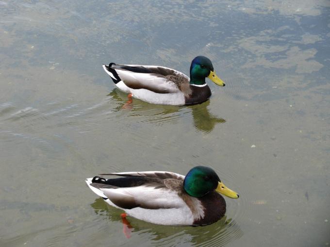 Рассмотрите уток в ближайшем пруду