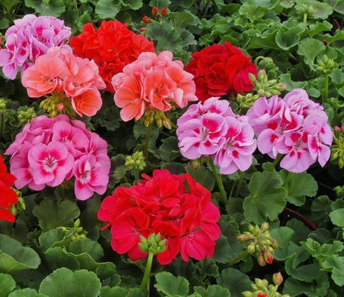 Яркие цветы пеларгонии можно видеть и на подоконниках, и в палисадниках