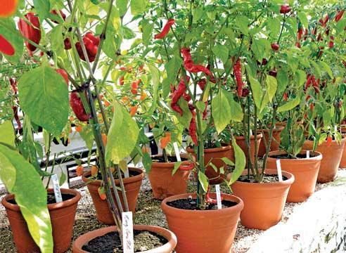 Выращивание острый перец в домашних условиях