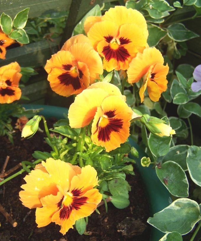 Причудливые цветы виолы радуют глаз с весны до позднй осени