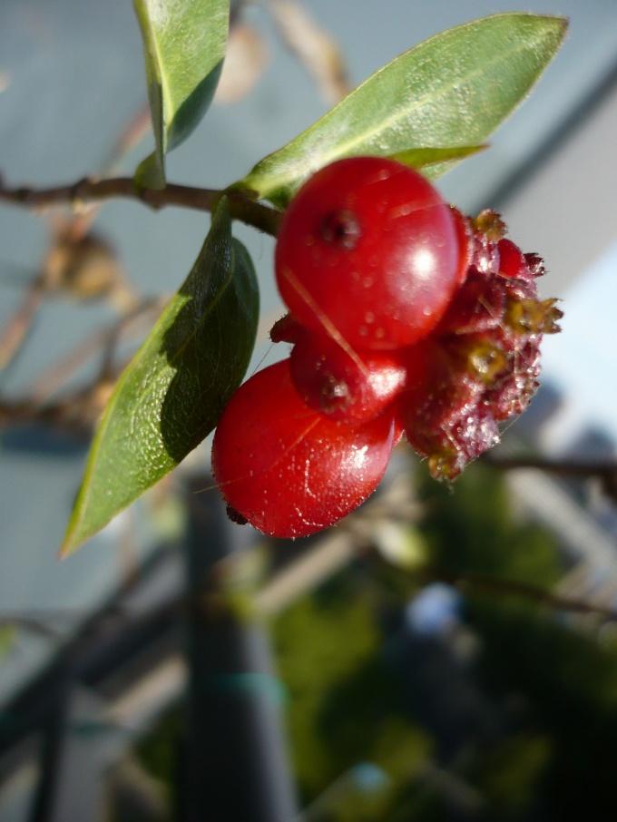 Жимолость - признанное целебное растение