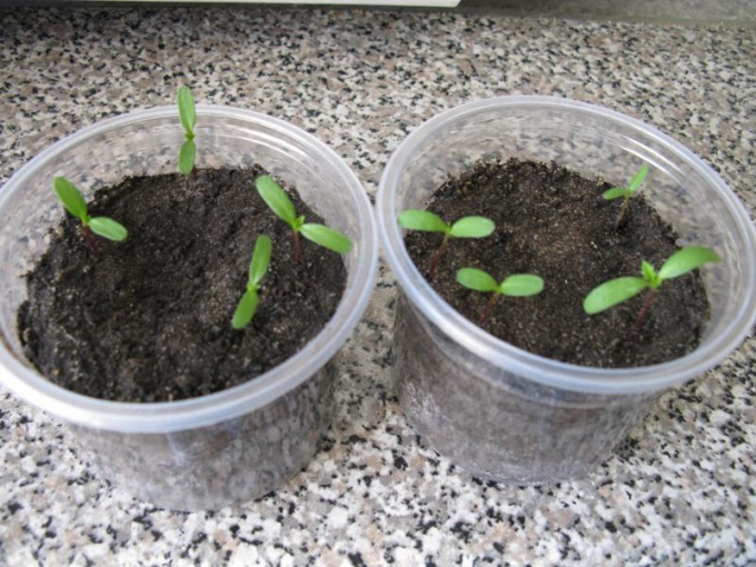 How to grow seedlings of marigolds