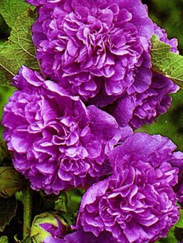 вырастить шток розу
