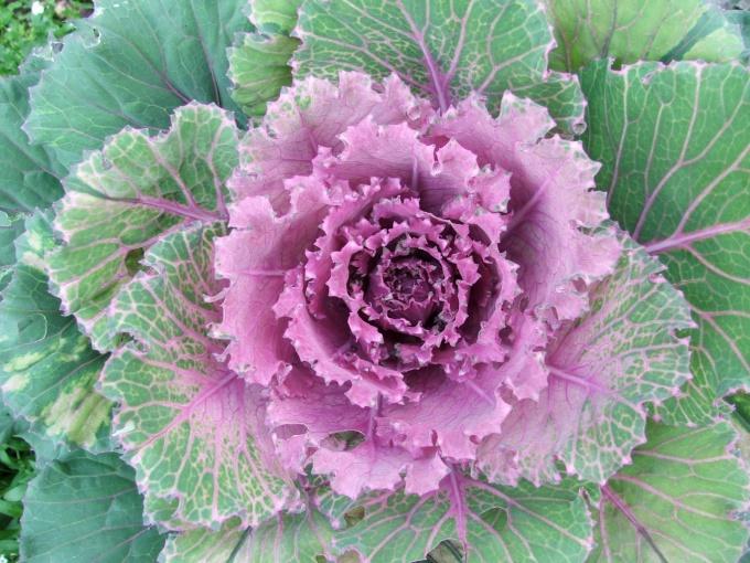 Декоративная капуста отличается яркой расцветкой