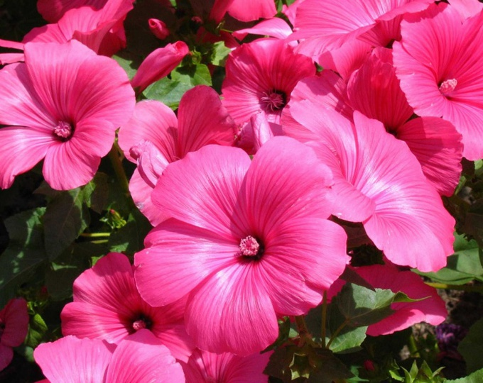 Лаватера радует глаз крупными розовыми или белыми цветами