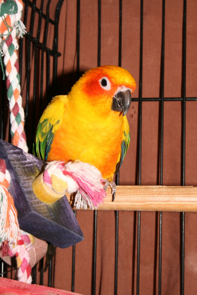 приучить попугая к клетке