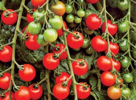 Как сажать помидоры черри