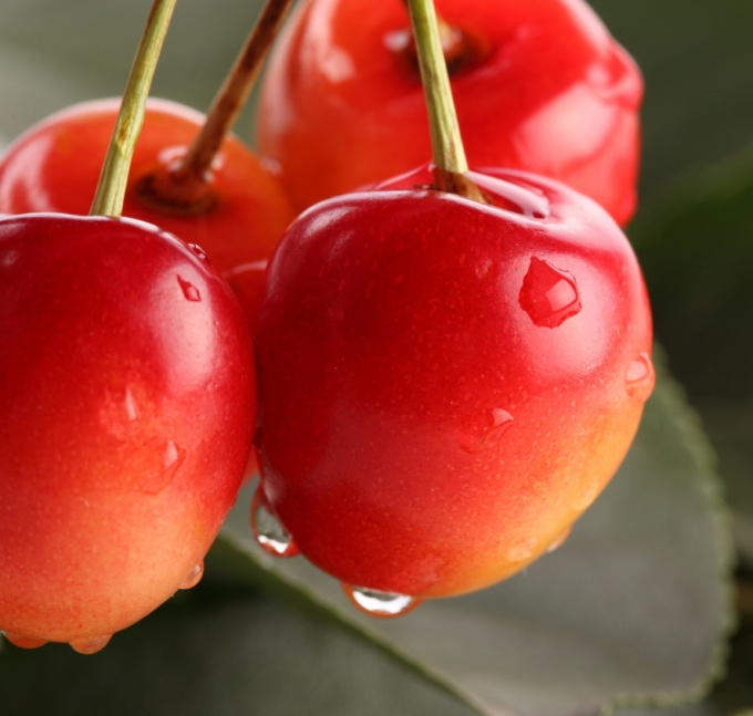 How to plant cherry