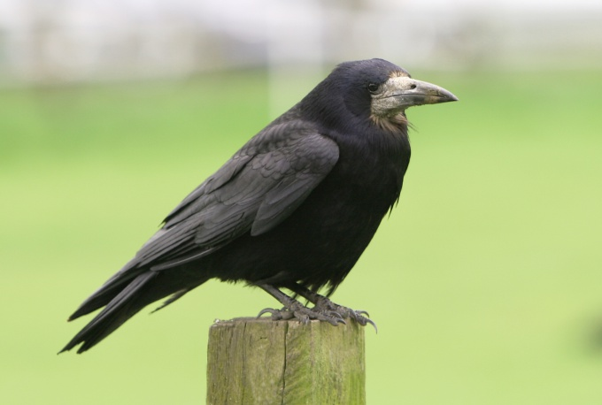 Raven is a very smart and interesting bird