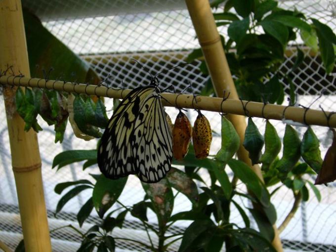 Как развести бабочек