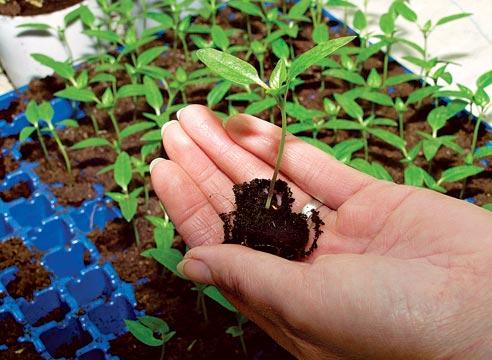 Как посадить рассаду цветов
