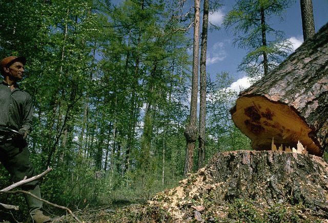 Рубка деревьев - занятие небезопасное.