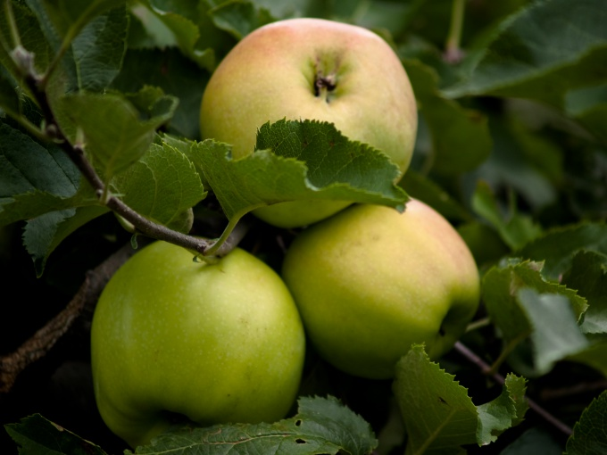 Early development of Apple will bring the first harvest