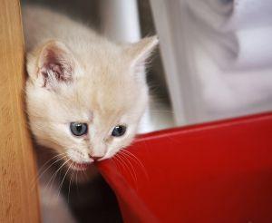 как приучит котенка к сухому корму