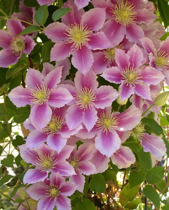 How to propagate clematis