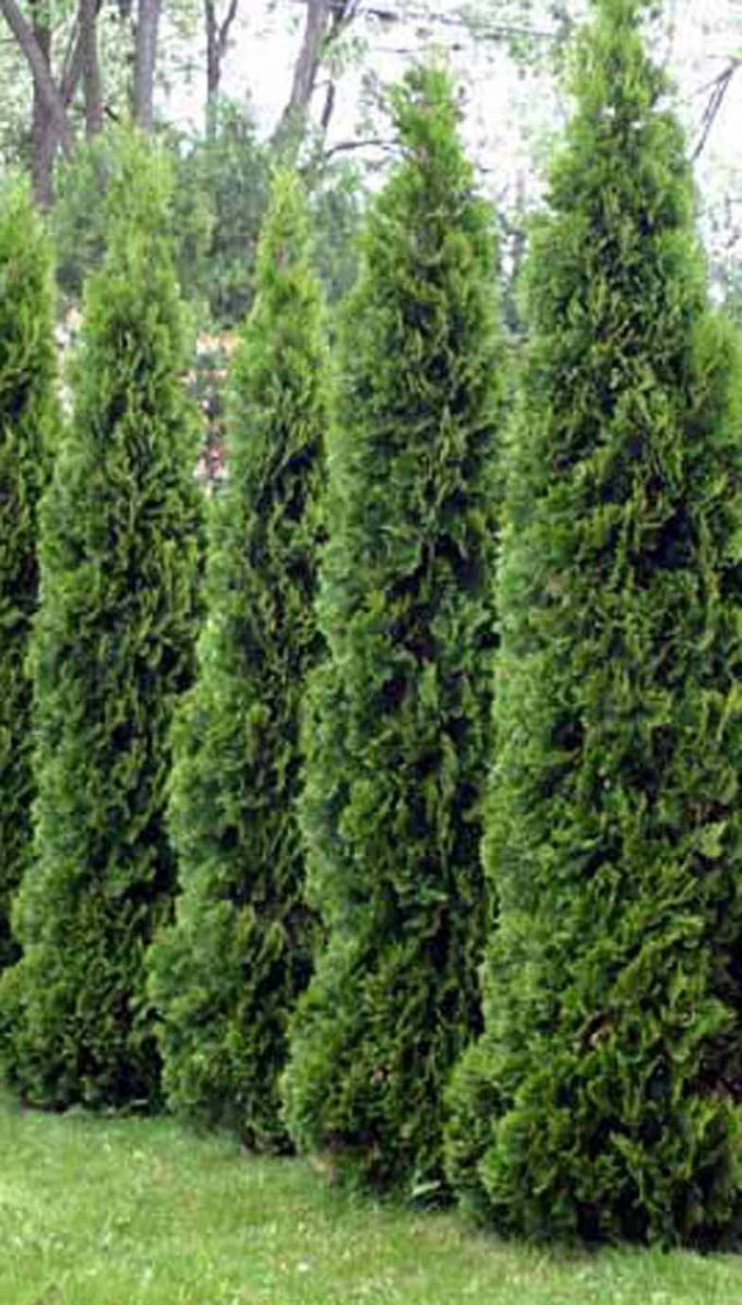 Arborvitae makes a great hedge