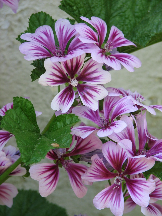 The large flowers of the mallow - decoration of front garden