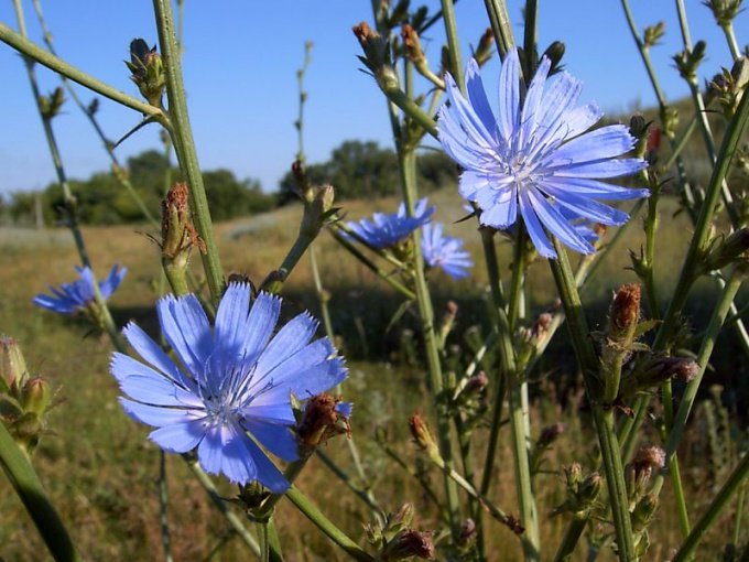Blooming chicory is a good honey plant