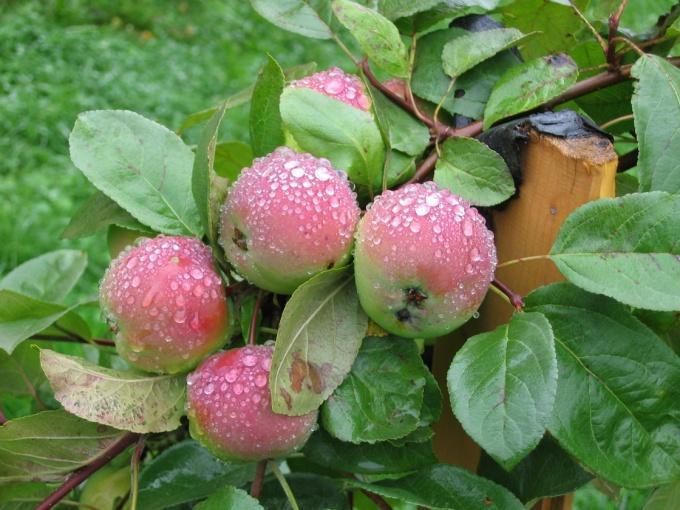 Хороший урожай яблок можно получить только при своевременном удобрении деревьев