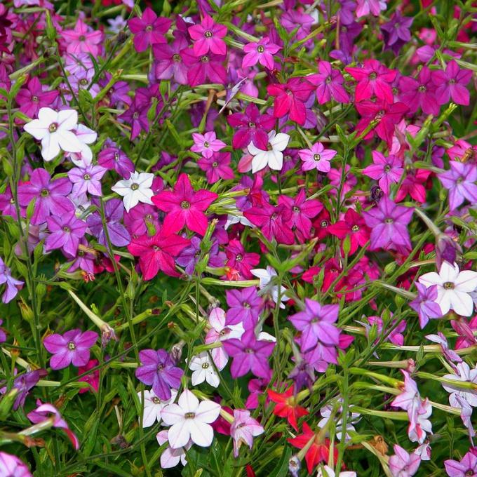 Душистый табак цветет в июле - августе