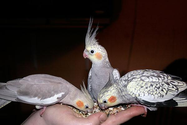 как приучит попугая кореллу