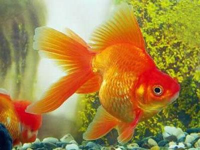 как узнать что золотая рыбка мечет икру