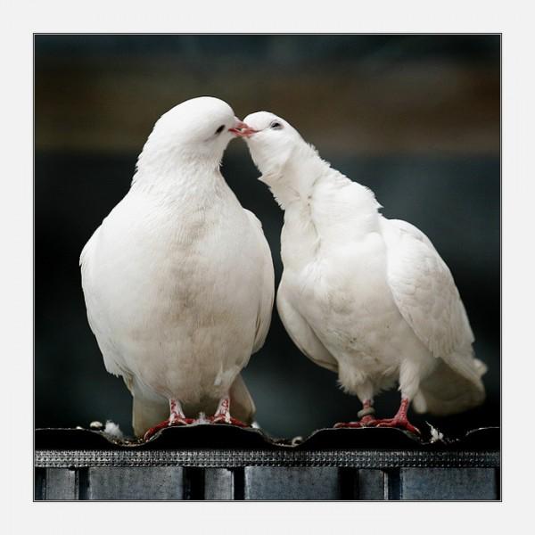 насморк голубей лечение