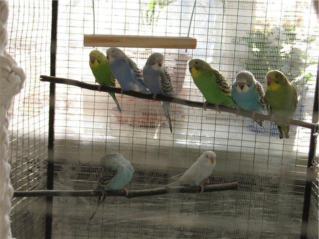 как развести. волнистых попугаев ???
