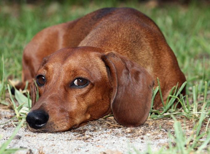 как лечить у собаки цестит овчарка