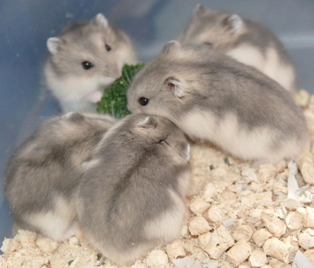 How to determine <strong>pregnancy</strong> <b>hamster</b>