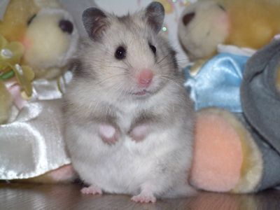 How to determine pregnancy hamster