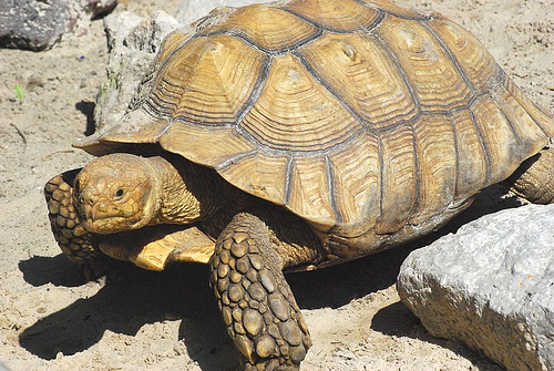 Сухопутная черепаха - одна из самых часто живущих в квартирах