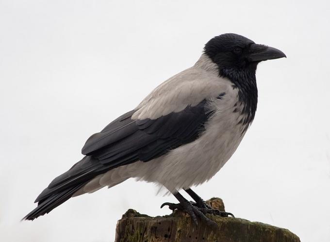 Серая ворона - жительница городов