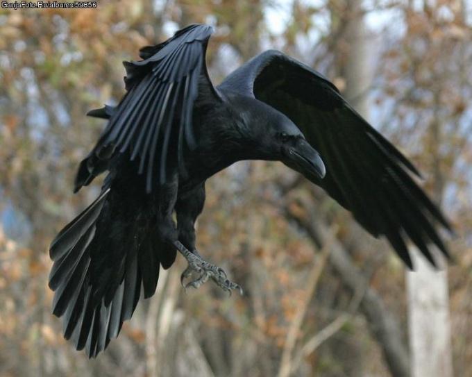 Красавец-ворон умен и обычно одинок