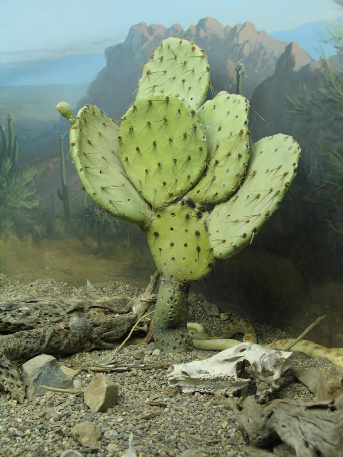 """Некоторые кактусы растут овальными """"лепешками"""""""