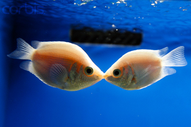 самец гурами обычно крупнее, чем самочка