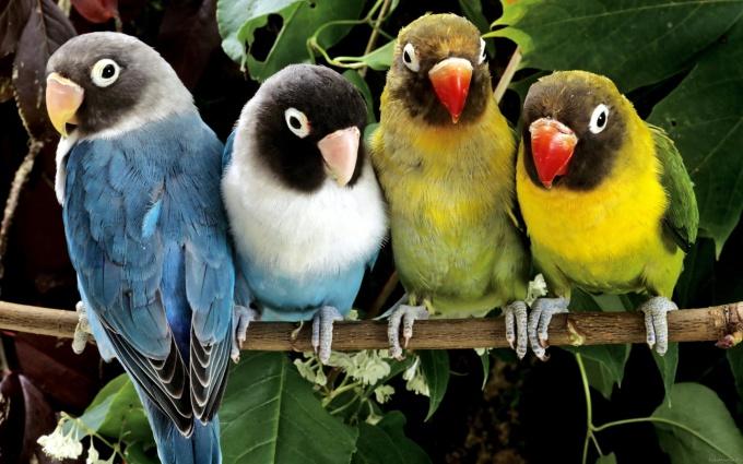 как обрезать клюв волнистому попугаю