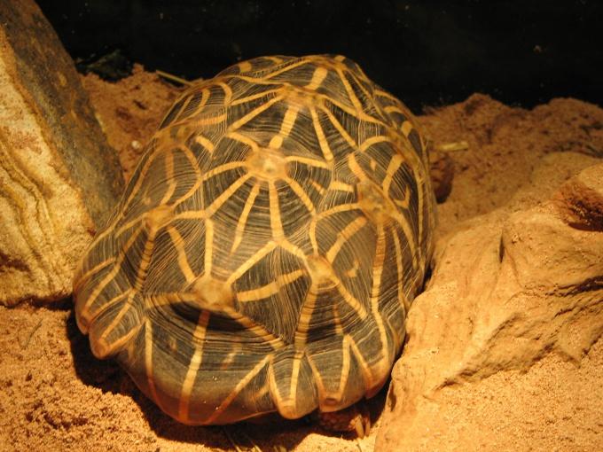 Панцирь черепахи в основании имеет круглую или овальную форму