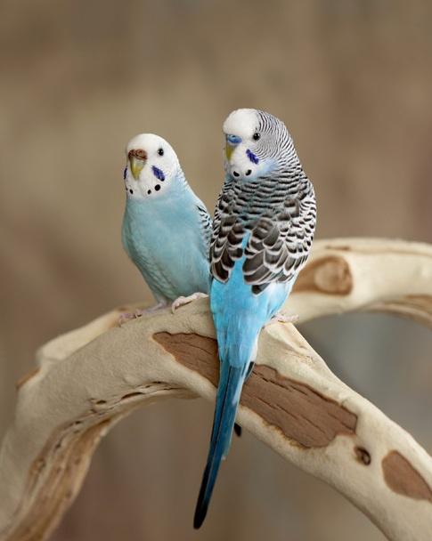 как различать попугаев по полу