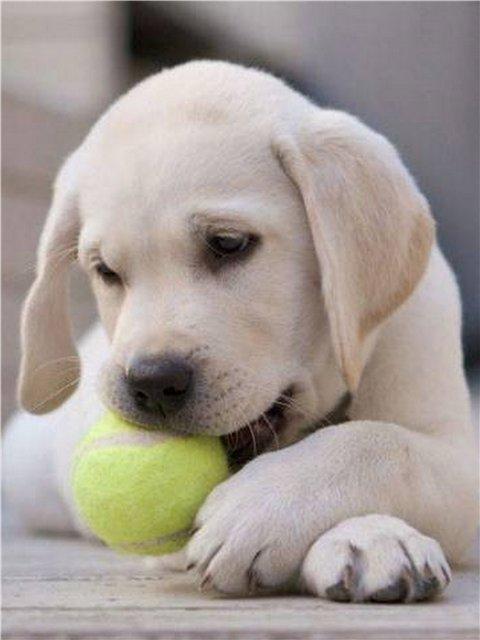 How to raise a Labrador puppy