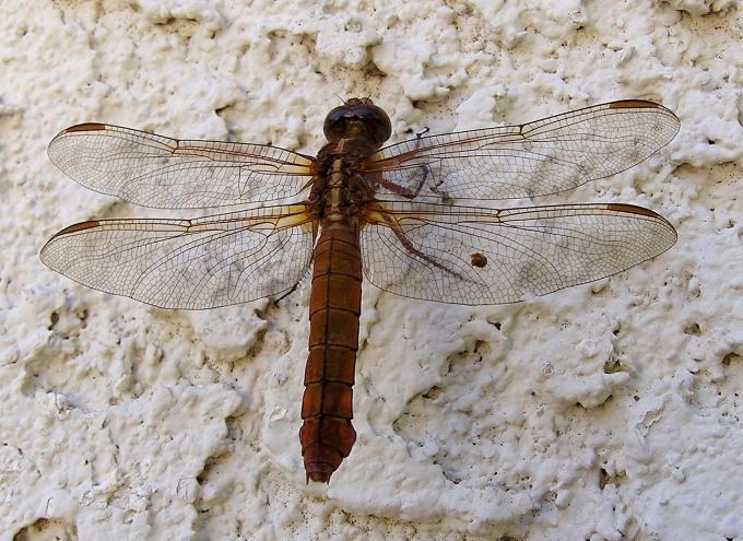 Обратите внимание, откуда растут прозрачные крылышки стрекозы