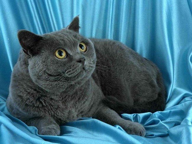 Как узнать о беременности кошки