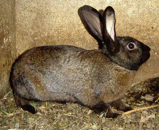 Пол взрослого <b>кролика</b> можно определить без труда.