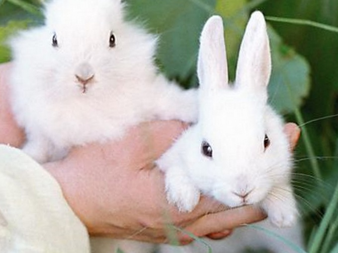 как отличить самца фландера от самки кролики